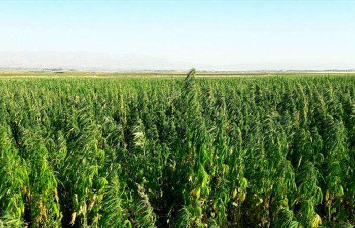 القانون الرامي الى ترخيص زراعة نبتة القنب للإستخدام الطبي والصناعي.. هل يُطبّق؟
