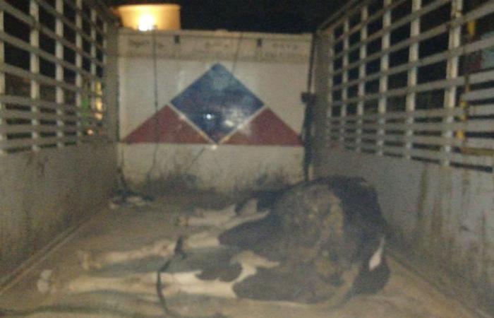 طبابة صور أقفلت مسلخا للأبقار تبين عدم قانونيته